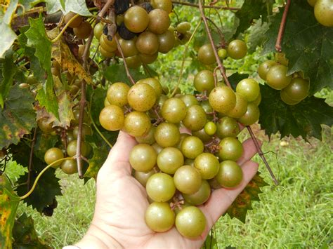 Growing Muscadine and Scuppernong Grapes