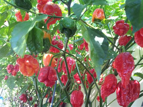 Trinidad Scorpion Butch T: 50+ Seeds – one of the hottest