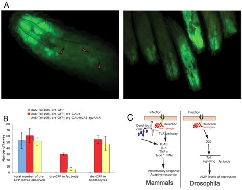 Toll-dependent antimicrobial responses in Drosophila