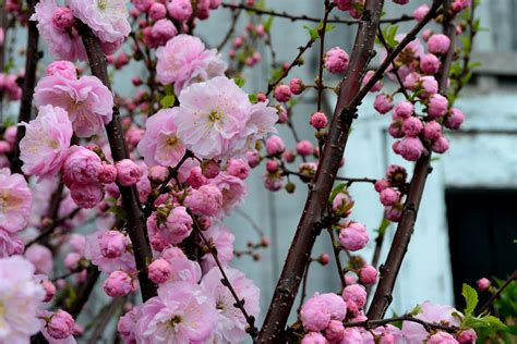 7 Spring Flowering Trees and Shrubs - Sheridan Nursuries Blog