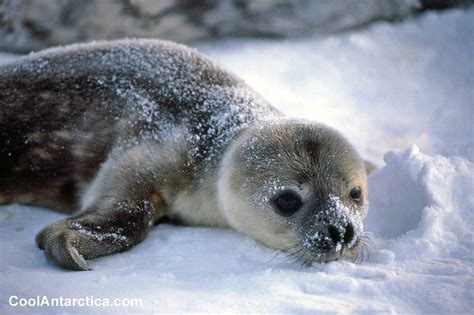 Thumbnails - Weddell Seal Swim 4 - Free use pictures of