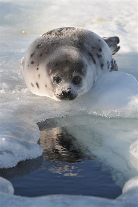 15 Photogenic And Adorable Reasons Canada's Seal Hunt